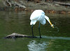 "<div class=""jaDesc""> <h4> Great Egret with Squirming Fish - August 2006 </h4> </div>"
