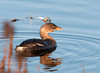 """<div class=""""jaDesc""""> <h4> Pied-billed Grebe Coming Out to See Catch - October 28, 2011 </h4> <p> When this Pied-billed Grebe saw one of the others with a fish, she decided to come out of the reed patch and check it out.</p> </div>"""