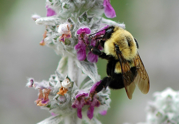 """<div class=""""jaDesc""""> <h4> Honey Bee on Lamb's Ears - June 23, 2009 </h4> <p>  The Bumblebees are all over our lamb's ear patch all day long.</p> </div>"""