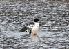 """<div class=""""jaDesc""""> <h4>Male Common Merganser Flapping Wings - March 23, 2010 </h4> <p>This male Common Merganser was showing off for two females in a nearby pond.</p> </div>"""