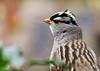 """<div class=""""jaDesc""""> <h4>White-crowned Sparrow Close-up - November 5, 2012 </h4> <p> Normally these guys are very spooky, but this guy has been unusually tame.  As long as I don't make any sudden movements, he gets really close.</p> </div>"""