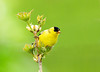 "<div class=""jaDesc""> <h4> Goldfinch on Cranberry Bush Stem</h4> </div>"