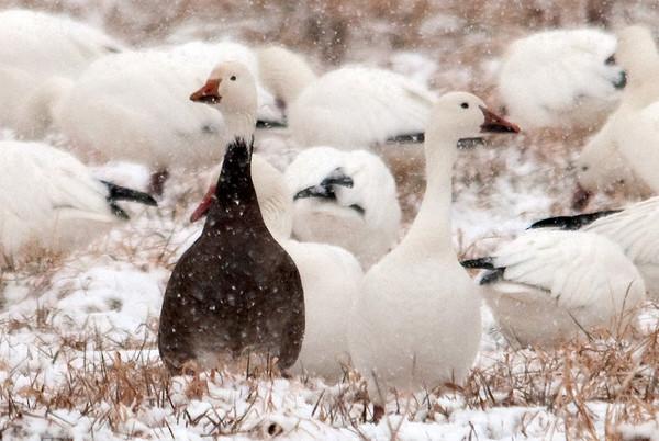 """<div class=""""jaDesc""""> <h4> Black Morph Snow Goose</h4> </div>"""