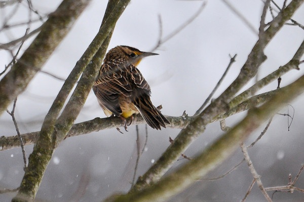 """<div class=""""jaDesc""""> <h4> Eastern Meadowlark - Back View - January 1, 2013</h4> <p> After several attempts to get closer to the Meadowlark foraging along the road, I had to settle for another shot in a tree.</p> </div>"""