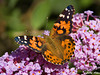 "<div class=""jaDesc""> <h4> Painted Lady on Lilac Bush</h4> </div>"