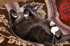 """<div class=""""jaDesc""""> <h4> Phantom Takes Over Coby's Bed - January 17, 2012 </h4> <p> Phantom likes to sleep right in front of the wood stove in Coby's dog bed; lying on his back just like Coby does. </p> </div>"""