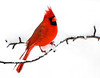 "<div class=""jaDesc""> <h4> Cardinal on Snowy Branch </h4> </div>"