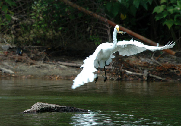 """<div class=""""jaDesc""""> <h4> Great Egret Circling Back to Perch - August 2006 </h4> </div>"""