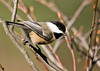 """<div class=""""jaDesc""""> <h4> Chickadee Headed to Peanut Feeder - November 6, 2012 </h4> <p> One of our 8 regular Chickadees was patiently waiting his turn at the peanut feeder.  There were 2 Blue Jays ahead of him.</p> </div>"""