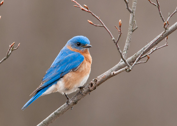 """<div class=""""jaDesc""""> <h4> Male Bluebird in Serviceberry Tree - April 9, 2013</h4> <p>The male Bluebird is watching as the female dines on mealworms.</p> </div>"""