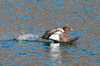 """<div class=""""jaDesc""""> <h4>Immature Female Common Goldeneye Airborne - January 27, 2013 </h4> <p>She stayed very low to the water until she finally had enough speed and lift.  Then she pulled both feet up and flew on down the river, still staying very low to the water.</p> </div>"""