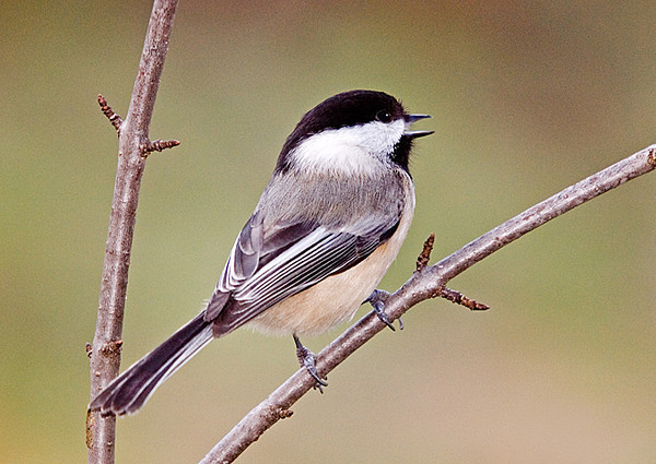 "<div class=""jaDesc""> <h4> SUMMER - Black-capped Chickadee Chirping in Morning Sunshine </h4> </div>"