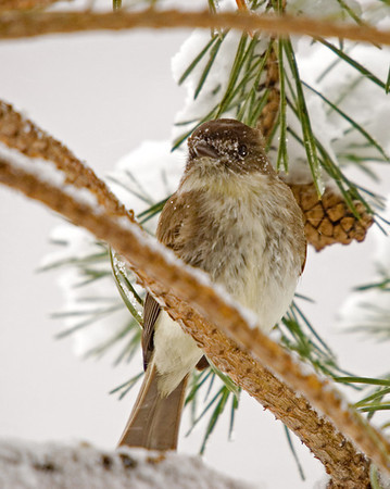 "<div class=""jaDesc""> <h4>Phoebe in Blowing Snow - April 16, 2007 </h4> <p>With the extra protein of some mealworms, the Phoebes were able to stay warm during one day of nasty weather. </p> </div>"