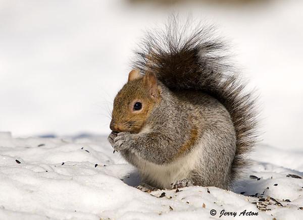 "<div class=""jaDesc""> <h4> Gray Squirrel in Snow</h4> </div>"