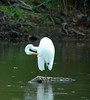 "<div class=""jaDesc""> <h4> Great Egret Takes Grooming Break - August 2006 </h4> </div>"