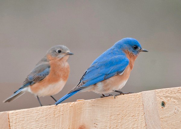 """<div class=""""jaDesc""""> <h4> Bluebird Pair at Mealworm Feeder- April 9, 2013 - Video Attached</h4> <p>When I whistle, these guys come in to eat.  It took me only 15 minutes to train them to come to this portable feeder this year.</p> </div> </br> <center> <a href=""""http://www.youtube.com/watch?v=ZAgaUKaRbJs"""" class=""""lightbox""""><img src=""""http://d577165.u292.s-gohost.net/images/stories/video_thumb.jpg"""" alt=""""""""/></a> </center>"""