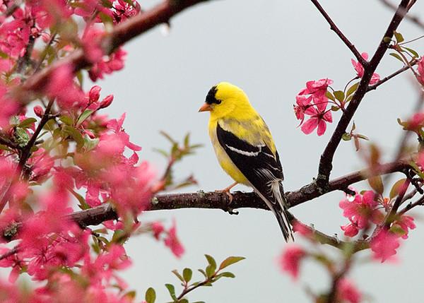 "<div class=""jaDesc""> <h4> Goldfinch in Flowering Crabapple Tree</h4> </div>"