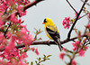 "<div class=""jaDesc""> <h4> Goldfinch in Flowering Crabapple Tree</h4> </div>"