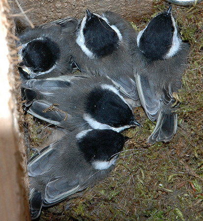 "<div class=""jaDesc""> <h4> 5 Chickadee ""Chicklets"" - 13 Days Old - June 30, 2006</h4> </div>"