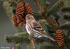 "<div class=""jaDesc""> <h4> Pine Siskin in Spruce Tree</h4> </div>"