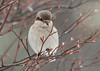 """<div class=""""jaDesc""""> <h4> Northern Shrike Looking Down - February 29, 2012 </h4> <p> After patiently waiting for about 5 minutes for some movement, he flew off.  I haven't seen him since.  Within a few minutes most of the birds were back out feeding.</p> </div>"""