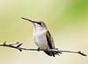 """<div class=""""jaDesc""""> <h4>Female Hummingbird Posing</h4> <p> </p> </div>"""