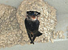 """<div class=""""jaDesc""""> <h4> Cliff Swallow Arriving with Food - June 10, 2010 - Video Attached </h4> <p> The Cliff Swallows take turns gathering bugs to feed the youngsters.  One adult will soar around for about 10 minutes gathering bugs.  Once that adult arrives at the nest, the other one leaves to take its turn gathering food.</p> </div> </br> <center> <a href=""""http://www.youtube.com/watch?v=fM1ADo26IrY"""" class=""""lightbox""""><img src=""""http://d577165.u292.s-gohost.net/images/stories/video_thumb.jpg"""" alt=""""""""/></a> </center>"""