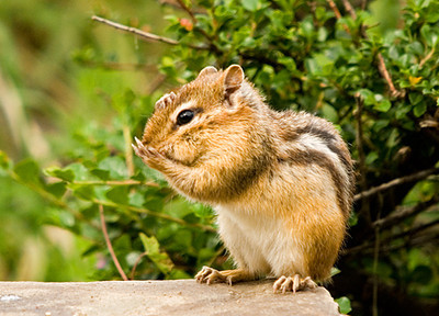 """<div class=""""jaDesc""""> <h4> Chipmunk with One Paw on Nose and One on Head</h4> </div>"""