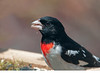 """<div class=""""jaDesc""""> <h4> Male Rose-breasted Grosbeak Having Breakfast - May 6, 2011 </h4> <p>The 4 male Rose-breasted Grosbeaks that have arrived are going through over a quart of black-oiled sunflower seeds every day.</p> </div>"""