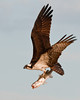 """<div class=""""jaDesc""""> <h4> Osprey Showing Off Huge Catch - April 15, 2012 </h4> <p> After this Osprey finally gained some altitude with his big catch, he circled around my location giving me a nice opportunity to document his catch.  Then he did a very odd thing.  Trying to lose the seagulls on his tail he, flew back out over the bay and dove into the water.  When he came out of the water, he had lost the fish.  He was struggling to gain altitude, so maybe the fish was just too big for him.</p> </div>"""