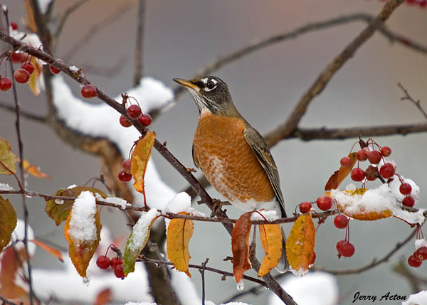 """<div class=""""jaDesc""""> <h4> Robin Ready for a Meal of Crabapples</h4> </div>"""