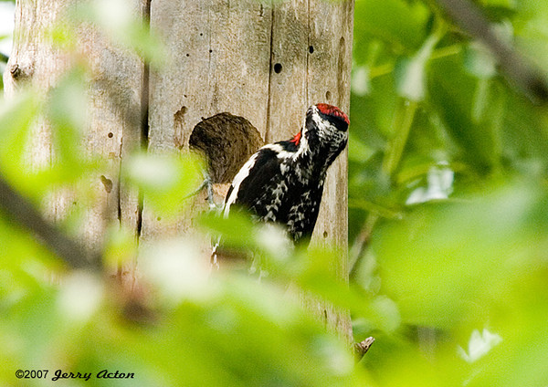 """<div class=""""jaDesc""""> <h4> Male Yellow-bellied Sapsucker at Nest Hole - June 17, 2007 </h4> <p> This male yellow-bellied sapsucker is arriving at the nest hole (down the road from our house) where there are 2 chicks inside.  The male has a red patch on his throat.</p> </div>"""