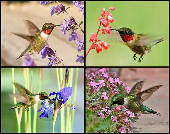 "<div class=""jaDesc""> <h4> Hummingbird Collage </h4> <P> Ruby-throated Hummingbird at Catmint, Coral Bells, Water Iris, & Cote D'Azur<p> </div>"