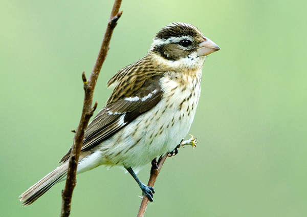 "<div class=""jaDesc""> <h4> Female Rose-breasted Grosbeak on Perch</h4> </div>"