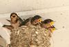 """<div class=""""jaDesc""""> <h4> Barn Swallow Chicks on Garage Door Opener - July 2, 2011</h4> <p>  </p> </div>"""