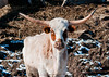 """<div class=""""jaDesc""""> <h4> Texas Longhorn Cattle - Mostly White - January 27, 2013</h4> <p>Seen on a farm in Downsville, NY.</p> </div>"""