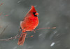 """<div class=""""jaDesc""""> <h4>Male Cardinal in Snowstorm - February 29, 2012 </h4> <p>This male Cardinal seemed pretty calm in the midst of blowing snow.  When weather like this starts, all the birds come in to tank up on seed. </p> </div>"""