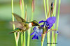 """<div class=""""jaDesc""""> <h4>Male Ruby-throated Hummingbird at Water Iris - May 31, 2007 </h4> <p> My brother-in-law and I teamed up to get this shot of a male Ruby-throated Hummingbird at a water iris in our water garden pond.  I pre-focused on the flower and he gave me a heads-up when it was inbound.  Photo was published on the back cover of Birds & Blooms magazine - June 2011.</p> </div>"""