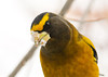 """<div class=""""jaDesc""""> <h4>Male Evening Grosbeak Close-up - December 23, 2012 </h4> <p>You can see why they are called Grosbeaks.  That beak can crack open sunflower seeds at an amazingly fast speed (about 1 seed every 15 seconds).</p> </div>"""