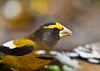 """<div class=""""jaDesc""""> <h4>Male Evening Grosbeak Feeding - October 24, 2012 </h4> <p>There are 10 males in the flock of 16 Evening Grosbeaks.  They have been here for 3 days now.  I am keeping the feeders well stocked in hopes of keeping them here for awhile.</p> </div>"""