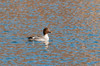 """<div class=""""jaDesc""""> <h4>Immature Female Common Goldeneye - January 27, 2013 </h4> <p>On a branch of the Delaware River in Downsville, NY we saw this lone immature female Common Goldeneye.  She was paddling around all by herself, well away from the other species of ducks.  The low angle of the morning sun was causing the unusual deep blue reflections.</p> </div>"""