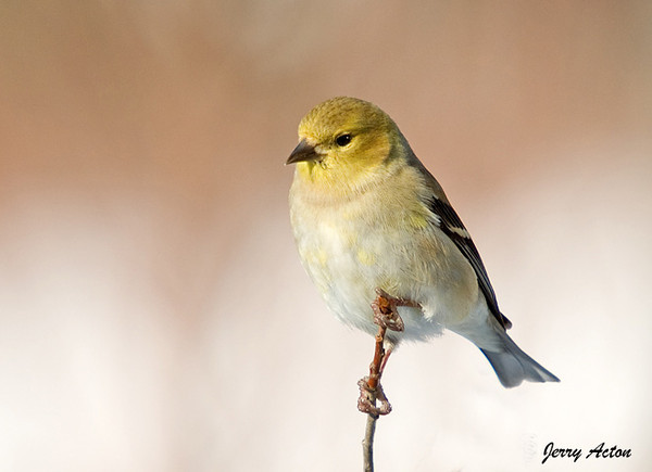 """<div class=""""jaDesc""""> <h4>Male Goldfinch In Morning Sunshine - January 4, 2009</h4> <p> This guy was enjoying the warmth of the morning sun. </p> </div>"""