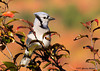 "<div class=""jaDesc""> <h4> Juvenile Blue Jay in Morning Sun </h4> </div>"