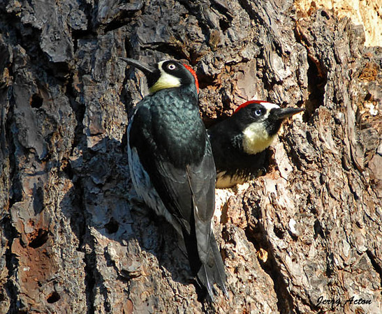 """<div class=""""jaDesc""""> <h4>Acorn Woodpecker Pair at Nest - November 3, 2009 </h4> <p> Periodically, the Acorn Woodpeckers would take a break from collecting acorns and rest at the nest. In this case the male is inside and the female is beside the nest hole.</p> </div>"""