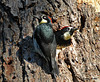 "<div class=""jaDesc""> <h4>Acorn Woodpecker Pair at Nest - November 3, 2009 </h4> <p> Periodically, the Acorn Woodpeckers would take a break from collecting acorns and rest at the nest. In this case the male is inside and the female is beside the nest hole.</p> </div>"