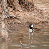 """<div class=""""jaDesc""""> <h4>Male Hooded Merganser in Owego Creek - March 12, 2013 </h4> <p> On my way home from the grocery store, I noticed a flock of 14 Hooded Mergansers (12 males and 2 females) in Owego Creek by the Tappan Road bridge.  I was able to sneak up on them and get a few shots before they all took flight.</p> </div>"""