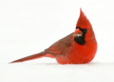 "<div class=""jaDesc""> <h4> WINTER - Male Cardinal in Snow Bank</h4> </div>"