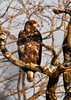"""<div class=""""jaDesc""""> <h4> Immature Bald Eagle Perched Along River - January 27, 2013 </h4> <p> Along a 3 mile stretch of the river we saw 10 immature Bald Eagles, but not one adult anywhere.</p> </div>"""