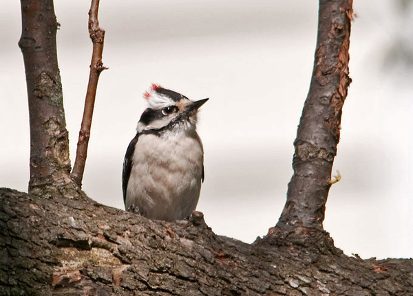 """<div class=""""jaDesc""""> <h4> 1st Year Male Downy Woodpecker - April 29, 2012 </h4> <p> When I see a Downy Woodpecker that has kind of a quizzical look, I am pretty sure it is a not quite mature 1st year bird. This little guy was taking a break from eating suet.</p> </div>"""