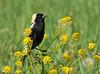 "<div class=""jaDesc""> <h4> Male Bobolink on Blooming Mustard</h4> </div>"